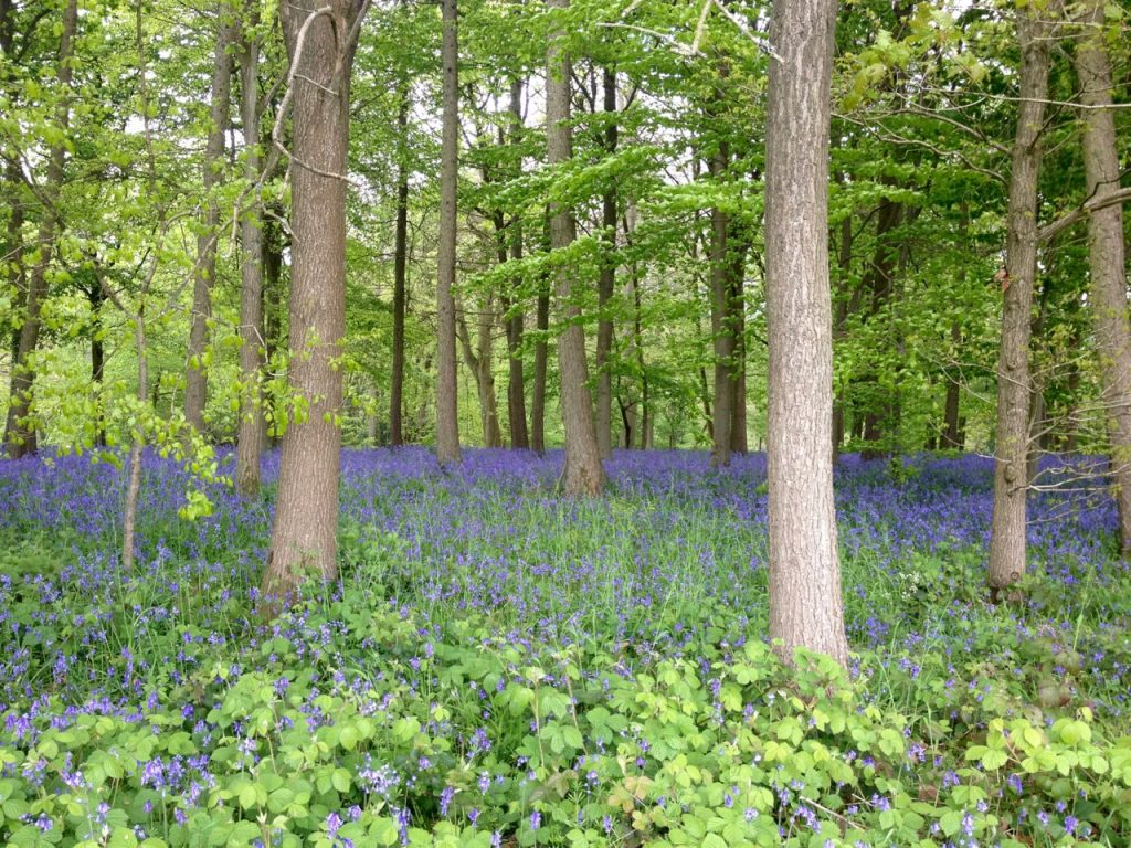 Bluebells in Hervines Park